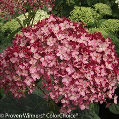 Invincibelle® Ruby Hydrangea | Plant Addicts