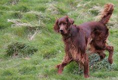 Irish (red) setter (Canis lupus familiaris)
