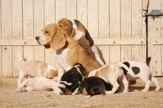 Photo Baby Beagle, Scottish Terrier, Beagles, Puppy Love, Puppies, Board, Dogs, Life, Diy Dog