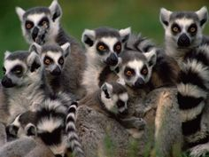 Ring-tailed Lemurs of Madagascar. Did you know there are over 100 species of Lemurs all of which are endemic to Madagascar? Beautiful Creatures, Animals Beautiful, Cute Animals, Baby Animals, Madagascar, Los Primates, Animal Antics, Cat Dog, Wallpaper Gallery