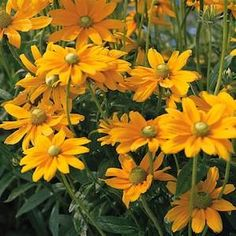 IRISH EYES Rudbeckia seeds Golden yellow flowers up to 5 inches across, with bright green cones, on heavy blooming, 2-3 foot tall plants. The flowers appear over a very long season, and are superb cut.