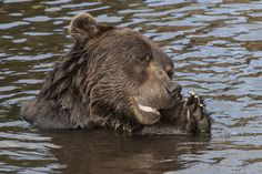 bearing wishing for salmon snack. OK he is checking on a log but thats what it looks like. End Of Summer, Black Bear, Rocky Mountains, Salmon, Pray, Wildlife, Snacks, Brown Bears, Animals