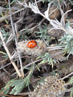Found: We had lots of ladybugs in our frontyard one afternoon earlier this week. I love the contrast of bright red and dull gray-green of the lavender.
