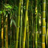 Bamboo - bambuseae, would go in planter on side of house for privacy