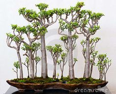 Gorgeous Crassula grown as a bonsai forest. Go to site for other techniques for creating a bonsai Jade plant. Jade Bonsai, Succulent Bonsai, Bonsai Plants, Bonsai Garden, Cacti And Succulents, Planting Succulents, Planting Flowers, Bonsai Trees, Juniper Bonsai