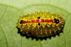 Jewel Caterpillar (Dalceridae)