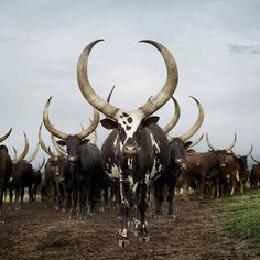 Ankole herd, Lake Mburo district, Nyabushozi, Western Region, Uganda, 2012 - by Daniel Naudé (1984), South African