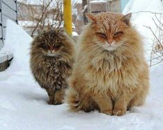 Beautiful Norwegian Forest Cats in their winter coats enjoying the snow.
