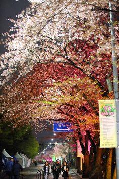 벚꽃구경은 밤벚꽃(2015.4.15)