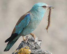 European Roller (Coracias garrulus) with a centipede (Scolopendra cingulata, order Scolopendromorpha) in Extremadura, Spain. Rare Birds, Exotic Birds, Colorful Birds, Pretty Birds, Beautiful Birds, Parc National Kruger, Lilac Breasted Roller, Belle France, Bee Eater