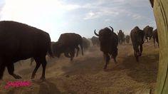 South Dakota: 2012 Buffalo Roundup