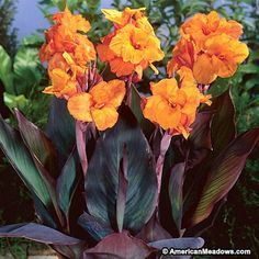 Growing up to 42', this canna creates real garden drama with dark stems and lush orange flowers. If you're looking for a plant to bring life to a quiet bed, look no further.