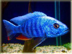 Electric Blue Hap Fish Pictures