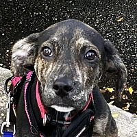 Adopt Miracle On Chihuahua Shelter Dogs Dogs Pet Adoption
