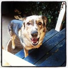 Patch URGENT is an adoptable Australian Shepherd Dog in Seattle, WA. Hi, I'm Patch! I was picked up off the street and taken to a really scary place. Luckily, some beautiful ladies saw me and gave me ...