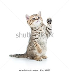 cute playful kitten cat isolated on white