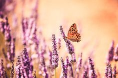 Beauty In Nature Wall Art - Photograph - Butterfly in lavender field by Matteo Colombo