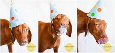 San Diego Pet Photography -  Vizsla / Hungarian Pointer - Dog Cake Smash Photo Session by Melanie Monroe Photography -  Dog cake recipes