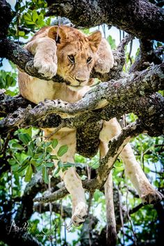 cosmic-noir: thebeautyofperception: Rare photos of #Lions napping in a tree in the #Serengeti, #Tanzania. Usually not skilled at climbing, they are thought to be escaping the insects that thrive in the long grass after the rains. The Lion Tree is bountiful.