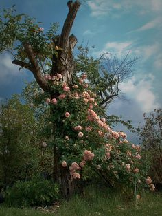 Tree with old roses by Talba