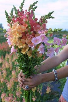 Chantilly Snapdragons: bronze,light pink and light salmon. Snapdragons ~ I forgot all about these beautiful flowers. We had many colors of snapdragons when I was growing up! What a wonderful memory! Beautiful Bouquet Of Flowers, Pretty Flowers, Fresh Flowers, Growing Flowers, Wild Flowers, Summer Flowers, Images Of Flowers, Sweet Pea Flowers, Beautiful Flowers Pictures