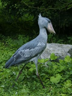 """Shoebill (Whalehead, Shoe-Billed Stork) - Balaeniceps rex - This very large stork-like bird lives in tropical East Africa in large swamps from Sudan to Zambia. Typical heights for this wading fish-hunter are 43-55"""" / 110-140 cm. Weights are 11-12 lb / 4.9-5.6 kg, with males usually being heavier - Image credit : Hans Hillewaert / September 4, 2010 / at Pairi Daiza, Brugelette, Belgium"""