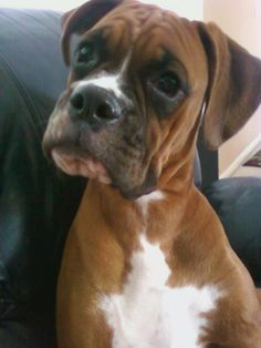 #Boxer #Puppy Confused??