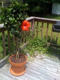 How to Overwinter a Hibiscus Tree: Winter Care Guide