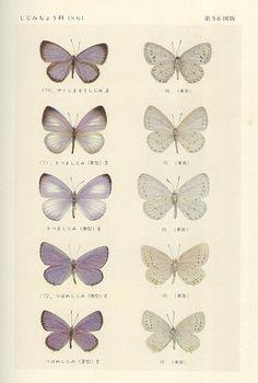 japon papillons / japanese butterflies