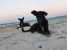 """""""POTCAKES"""" dogs lounging on the beach at Bugaloo's - TCI.  11.2014"""