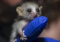 Not a dog.  Filbert, a baby mouse lemur at the Duke Lemur Center:  TY from the Duke Research newsletter for filling out a survey.
