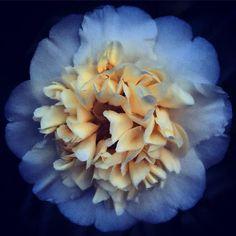 """""""Good morning. #camellia #camelliasofinstagram #gardensofinstagram #gardens #mygarden #sammcknightsgarden #flowersofinstagram #instagardens #instaflowers…"""""""