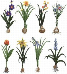 Flower Bulbs: how to plant