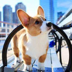 The traits we enjoy about the Fun Pembroke Welsh Corgis Dogs Corgi Funny, Corgi Dog, Mini Corgi, Cute Puppies, Dogs And Puppies, Cute Dogs, Animals And Pets, Baby Animals, Cute Animals