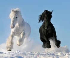 Black Horse and White Horse Running in Snow photo by All The Pretty Horses, Beautiful Horses, Animals Beautiful, Simply Beautiful, Absolutely Gorgeous, Gorgeous Gorgeous, Beautiful Couple, Beautiful Things, Animals And Pets