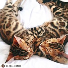 Bengal Cats sur Instagram : Bengal sisters . by @bengal_sisters ✨