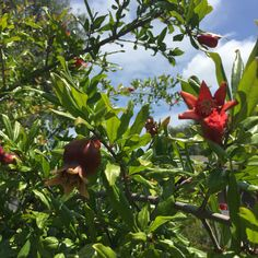 The pomegranates making a show in our gardens at Opal Street a House