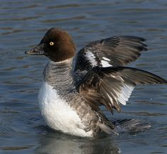 Common Goldeneye (Bucephala clangula) female. Vocalizations can be found here. http://www.allaboutbirds.org/guide/common_goldeneye/sounds