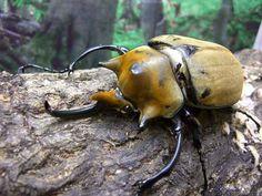 世界一体重が重いカブトムシ