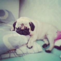 tired little pug