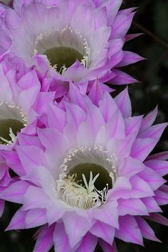 Cactus Flower di Tustin Shooter