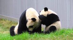 Frisky Bao Bao Plays with Mei Xiang