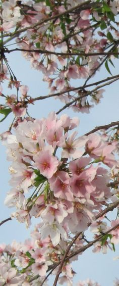 Facts about the Yoshino Cherry Tree including planting tips. The Yoshino Cherry tree bears beautiful white blooms in the spring that turn pink. Lovely tree