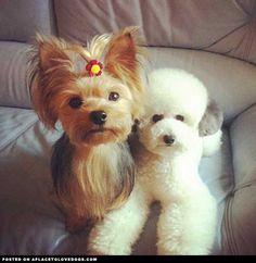 Adorable Toy Poodle & Precious Yorkie...