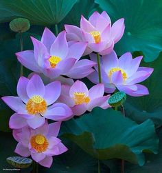 Lotus flower from Bali