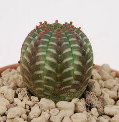 euphorbia-obesa-very-nice-skin-cacti-no-succulents