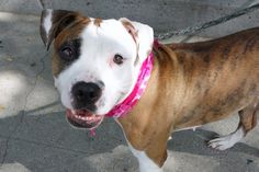 Manhattan Center LONDON – A1088955  FEMALE, BR BRINDLE / WHITE, AM PIT BULL TER MIX, 5 yrs STRAY – STRAY WAIT, NO HOLD Reason STRAY Intake condition UNSPECIFIED Intake Date 09/07/2016, From NY 10029, DueOut Date 09/10/2016, I came in with Group/Litter #K16-073279.