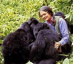 Dian Fossey was an American zoologist who undertook an extensive study of gorilla groups over a period of 18 years. She studied them daily in the mountain forests of Rwanda. Dian Fossey, Primates, The Mist Film, Gorillas In The Mist, Brave, Jane Goodall, Mountain Gorilla, Volcano National Park, Badass Women
