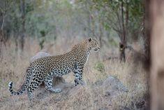 The seldom seen Maliliwane female. Photograph by Mike Sutherland.