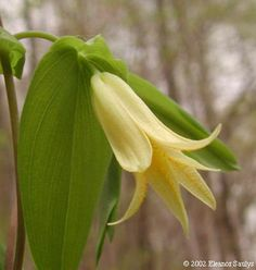 "Perfoliate Bellwort Uvularia perfoliata ""perfoliata"" refers to the way the stem seems to pierce the leaves Woodland Plants, Woodland Flowers, Pic Vert, Garden Ornaments, Native Plants, Flower Photos, Shrubs, Wild Flowers, Garden Design"